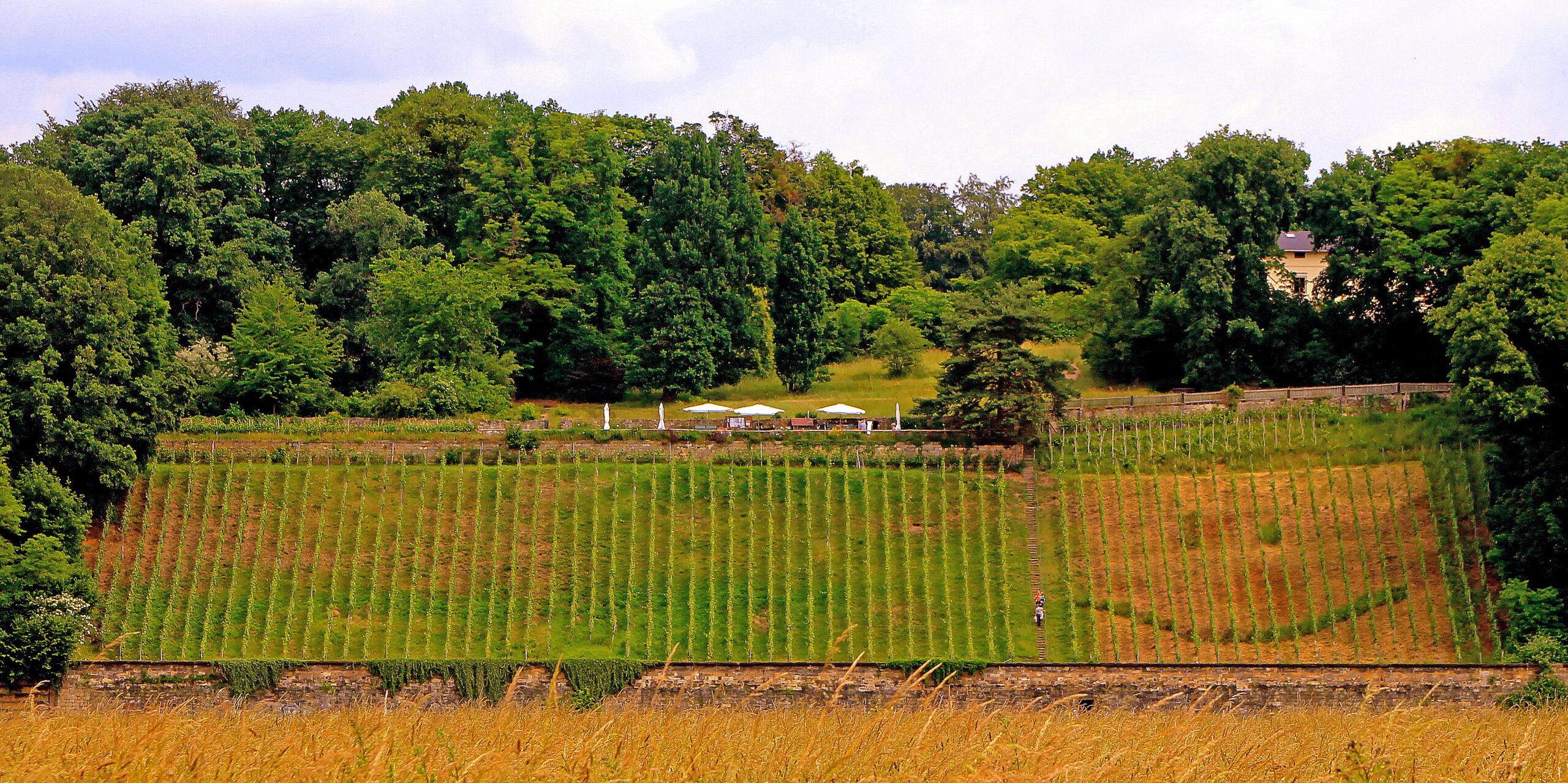 Weinwanderung Loschwitz